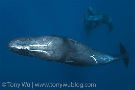 Four Sperm Whales | Physeter macrocephalus | Tony Wu ...