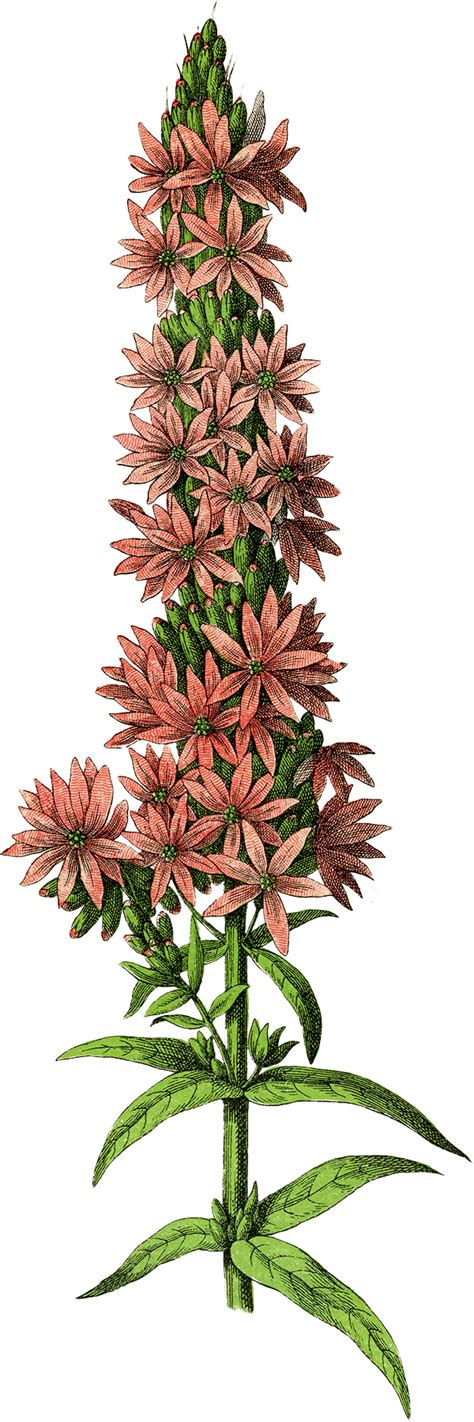 Free Botanical Flower Clip Art   The Graphics Fairy