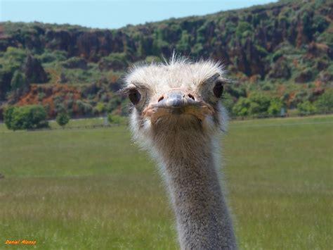 Free Images : animal, ave, avestruz, ostrich, ratite ...
