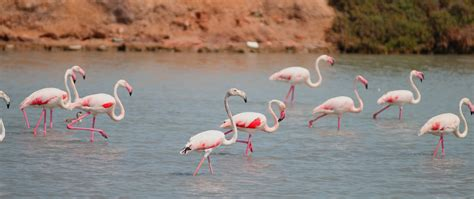 Free Images : beak, fauna, flamingo, flemish, vertebrate ...