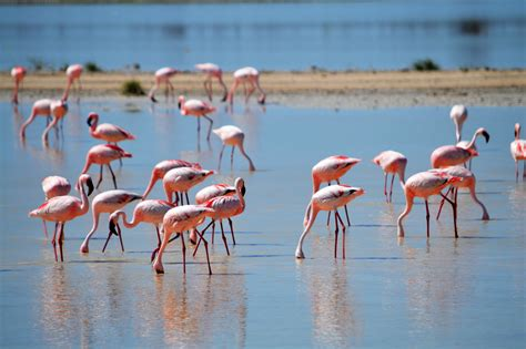 Free Images : flamingos in the nature, pink, drink, animal ...