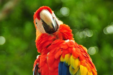 Free Images : red, beak, fauna, plumage, lorikeet ...