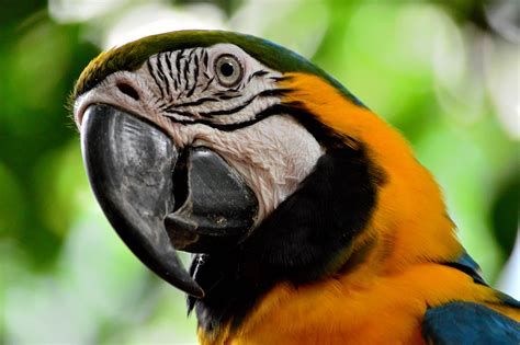 Free Images : wildlife, orange, beak, fauna, macaw, close ...