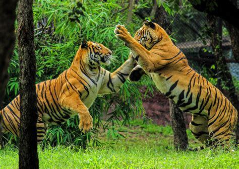 Free photo: Bengal Tiger   Roar, Stare, Tiger   Free ...