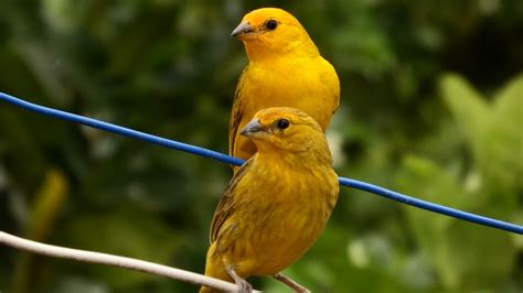 Free photo: Canaries, Tropical Birds, Bird   Free Image on ...