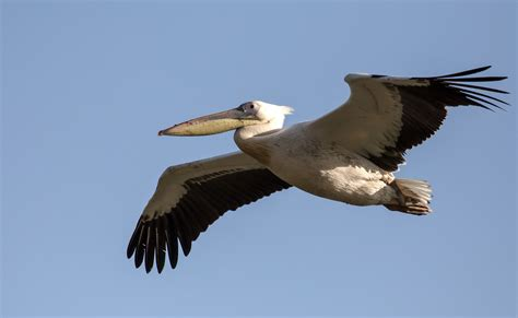 Free photo: Flying Pelican   Animal, Bird, Flying   Free ...