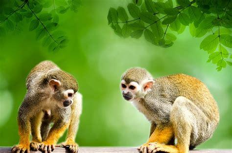 Free photo: Monkey, Amazon, Squirrel   Free Image on ...