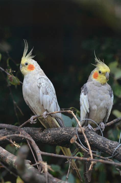 Free photo: Nymph Parakeets, Dwarf Parrot   Free Image on ...