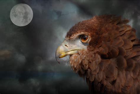 Free photo: Raptor   Bird, Brown, Eagle   Free Download ...