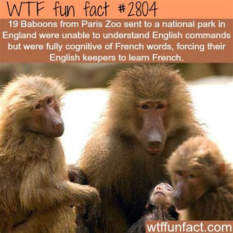 French Baboons don't understand English   WTF fun facts ...