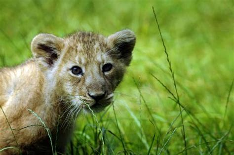 French zoo triplets boost for endangered Asiatic lions