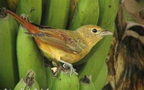 Frugívoras, las aves que comen frutas | La Nota Latina