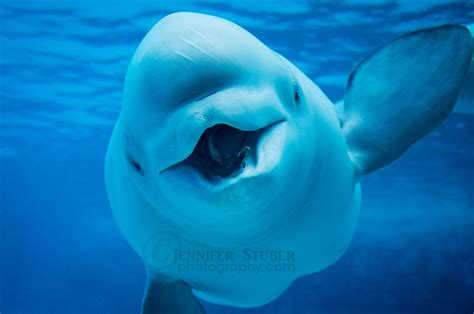 Fun Facts  v.5 Beluga Whales  by CetaceanArts on DeviantArt