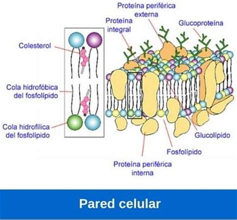 Función de la pared celular ¿Cómo funciona?