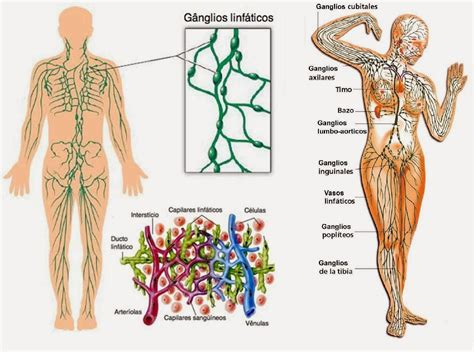 Función de los ganglios linfáticos: axilares, inguinales y más