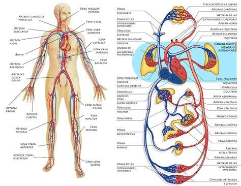 Funciones del aparato circulatorio