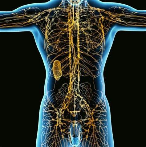 Funciones principales de los ganglios linfáticos: para qué ...
