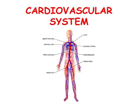 Function Of Cardiovascular System   Lessons   Tes Teach