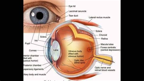 Function Of The Eye Parts   YouTube