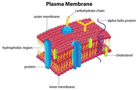 Functions of the Plasma Membrane   Biology Wise