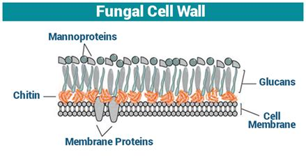 Fungal Cell Wall | Cell Wall Function | Fungi   Structure ...