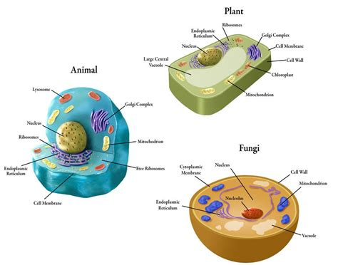 fungi cell   Google Search | Cell wall, Cell