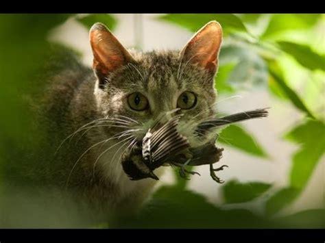 funny bird attacking a lazy cat / pajaro chistoso atacando ...