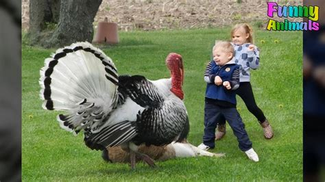 Funny Turkeys Attacking People And Doing Funny Things ...