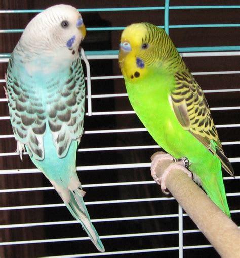 Gainesville Cockatiel Rescue: Adopted Birds