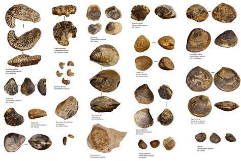Galería bivalvos | Algunos bivalvos fósiles del Sureste de ...