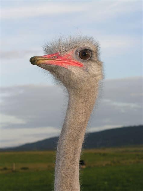 Gambar : margasatwa, paruh, burung unta, fauna, emu ...