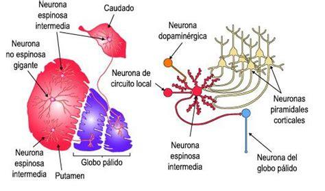 Ganglios Basales: anatomía y función   Anatomía, Anatomía ...