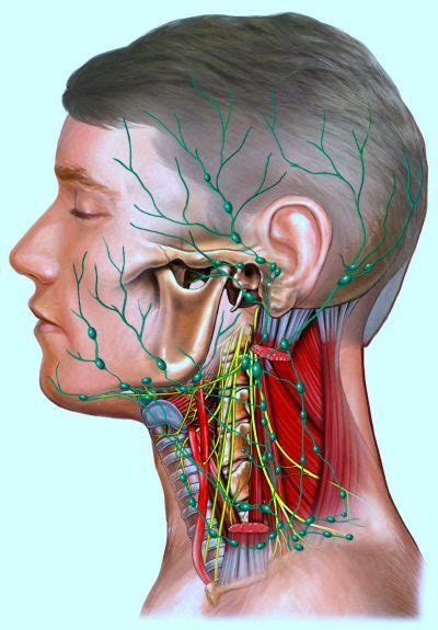 Ganglios linfáticos del cuello hinchados, inflamados ...