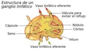 Ganglios linfáticos  nódulos