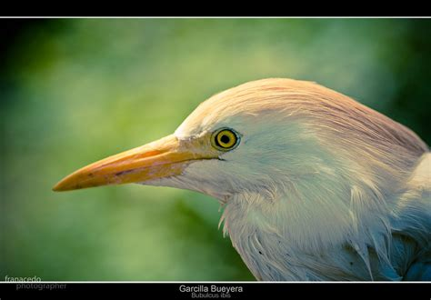 Garrapatero | Es un ave esbelta de color blanco adornada ...