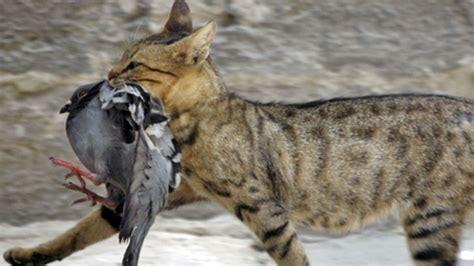 Gato salvaje cazando pajaros   Animales en Video