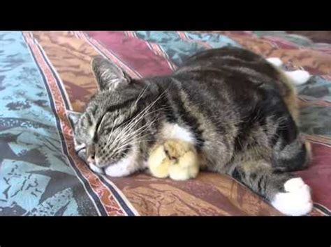 Gato se come a un pollito.   YouTube