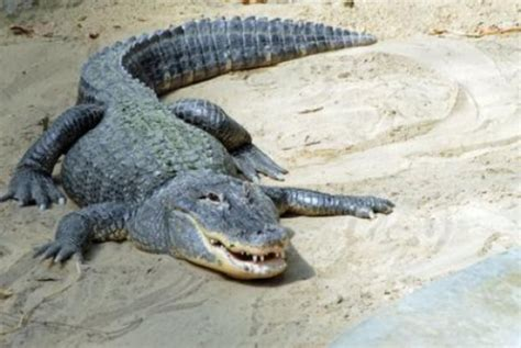 Gator in your tank: Alligator fat as a new source of ...