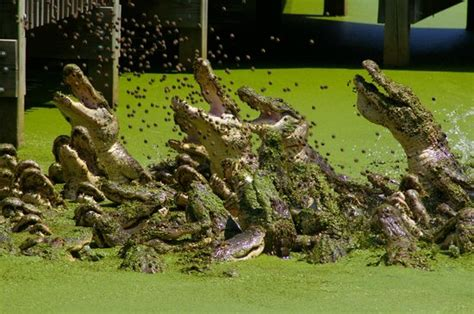Gators and Friends   Alligator Park & Exotic Zoo ...