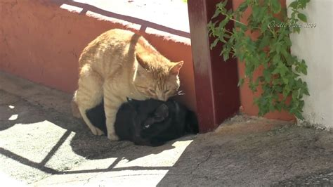 Gatos apareandose impresionantes maullidos de la hembra HD ...