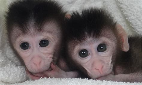 Genetically modified monkeys created with cut and paste ...