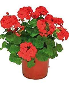 Geranio Rojo Planta Natural Pequeña En Maceta   Planta ...