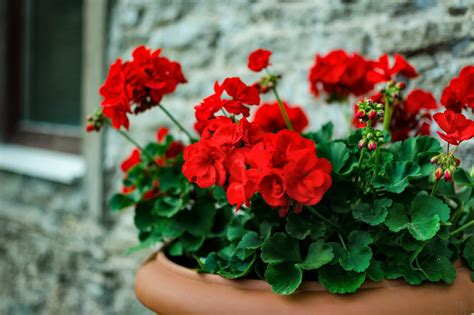 Geranium Care: Watering and Feeding | HGTV