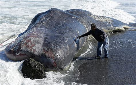 Giant sperm whale carcass washed up on California beach ...