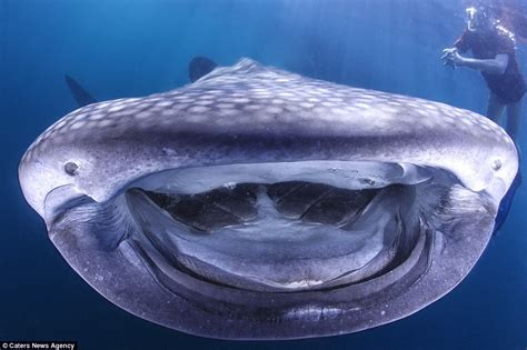 Giant whale shark smiles for the camera   Daily Mail Online