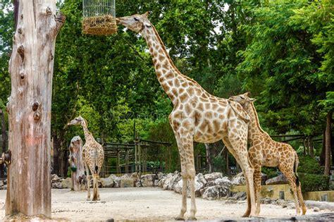 Giraffe Feeding In Garden, Lisbon Zoo Stock Photo   Image ...