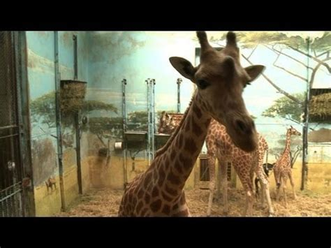 Giraffes hold the fort in Paris zoo construction site ...