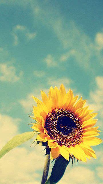 Girasoles | Flores bonitas, Flores do sol e Papel de ...