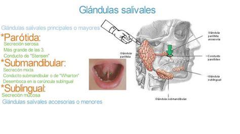 Glándulas salivales   Parótida, submandibular, sublingual ...