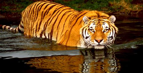 Global Tiger Numbers Dwindling   The Ultimate Fundraiser Blog